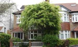 Chiswick-Giant-Japanese-Maple