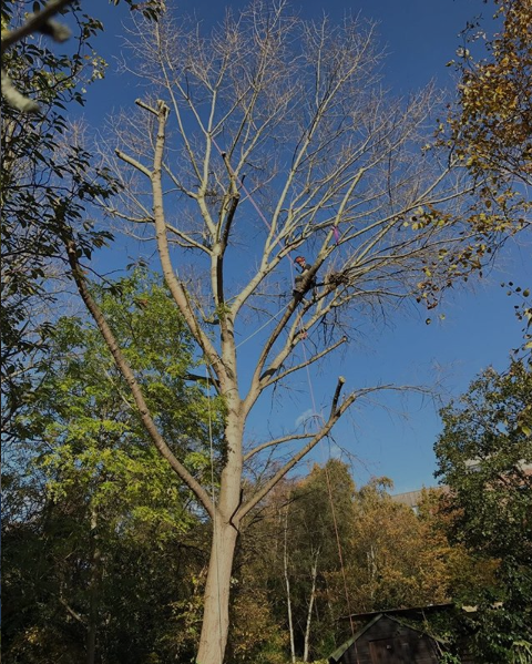 tree pruning service in London. tree surgeon up tree pruning large limbs