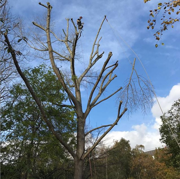 tree pruning service in London. Tree surgeon up tree cutting the final branch